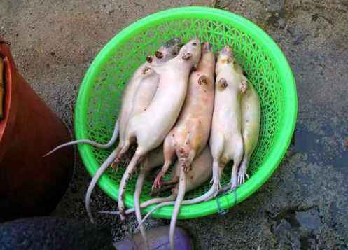 daging tikus