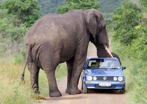 gajah111