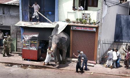 gajah6