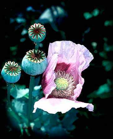 opium-22