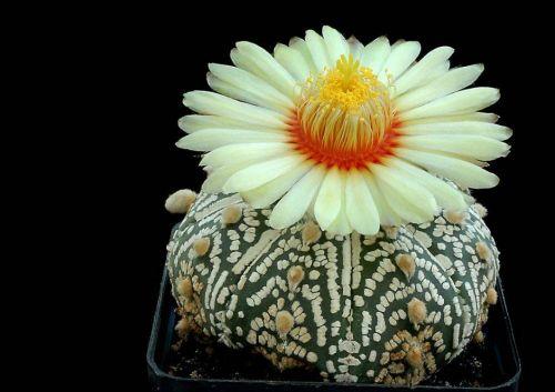 cactus-flowers-001