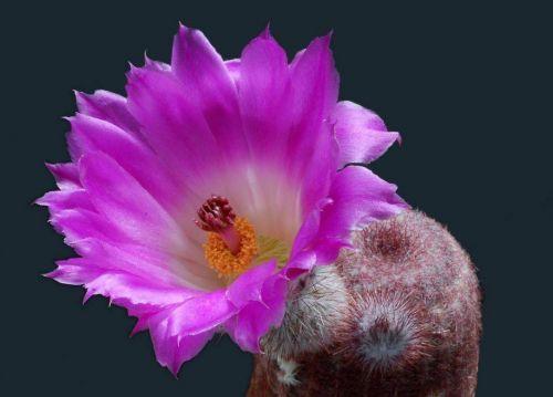 cactus-flowers-002