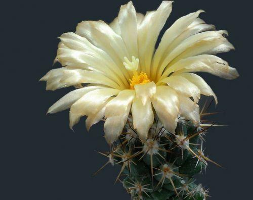 cactus-flowers-003