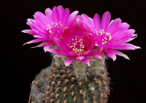 cactus-flowers-004