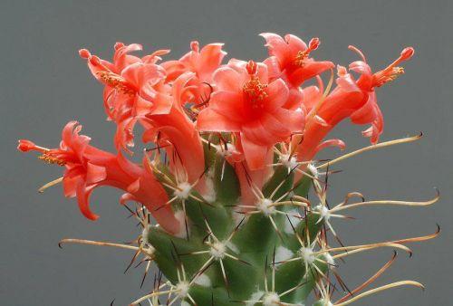 cactus-flowers-005