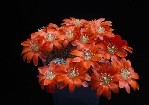 cactus-flowers-006