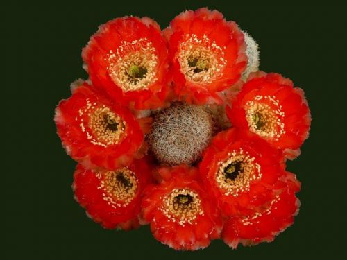 cactus-flowers-007