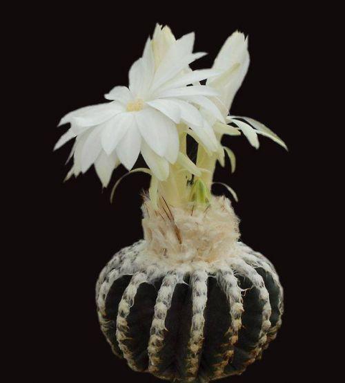 cactus-flowers-008