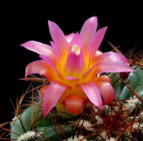 cactus-flowers-009