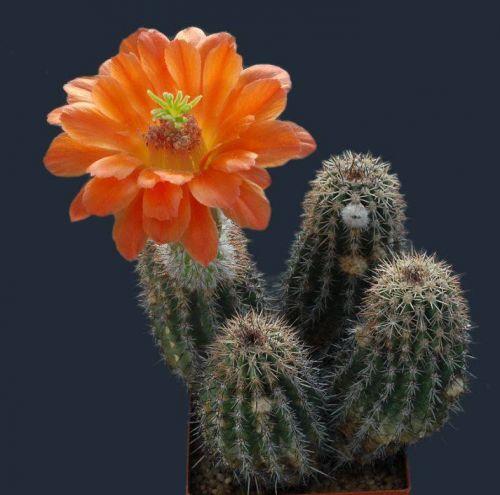 cactus-flowers-010