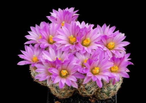 cactus-flowers-011