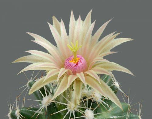cactus-flowers-012