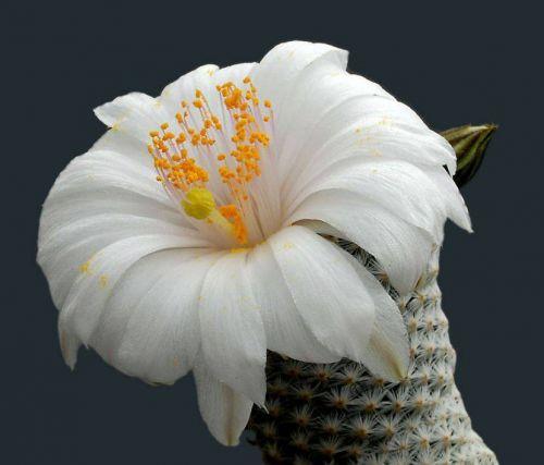cactus-flowers-013