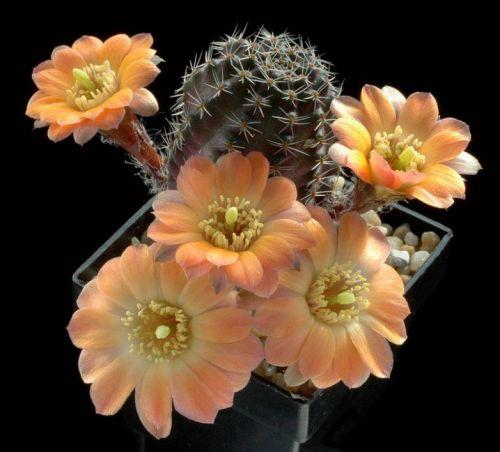 cactus-flowers-014