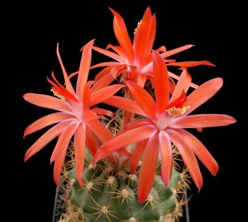 cactus-flowers-015