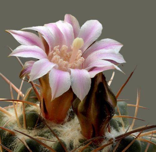 cactus-flowers-016