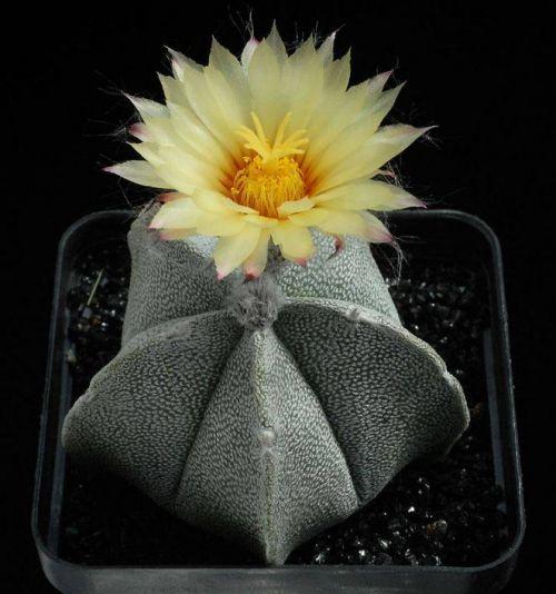 cactus-flowers-017