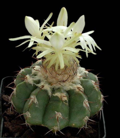 cactus-flowers-018