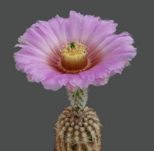 cactus-flowers-020