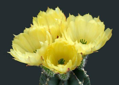 cactus-flowers-021