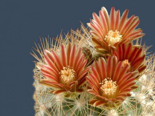 cactus-flowers-022