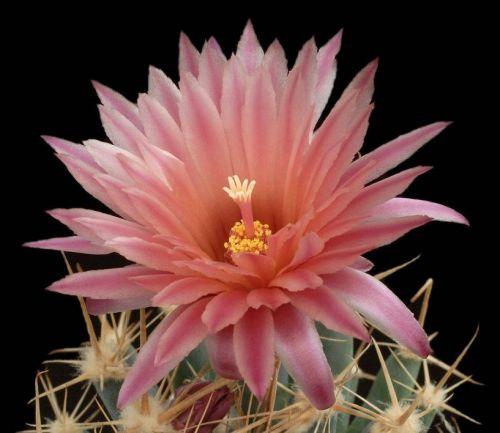 cactus-flowers-023