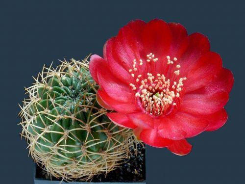 cactus-flowers-024