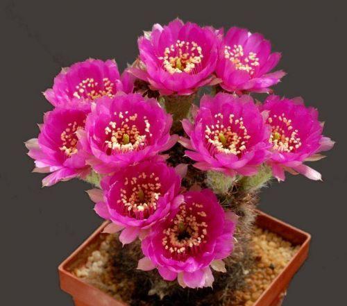cactus-flowers-025