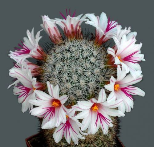 cactus-flowers-026