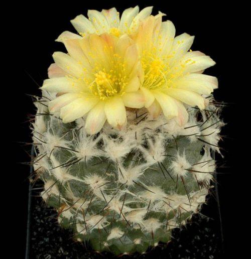 cactus-flowers-027