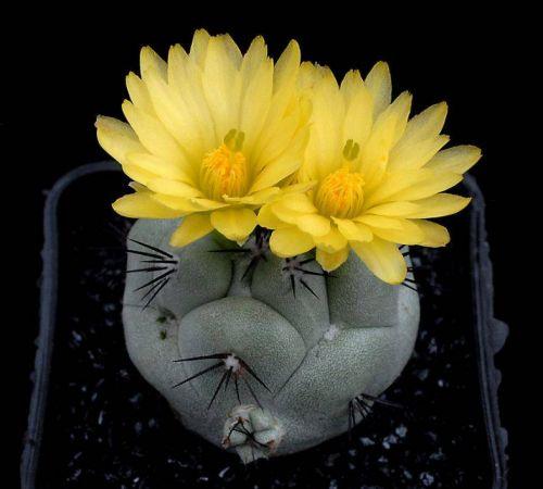 cactus-flowers-028