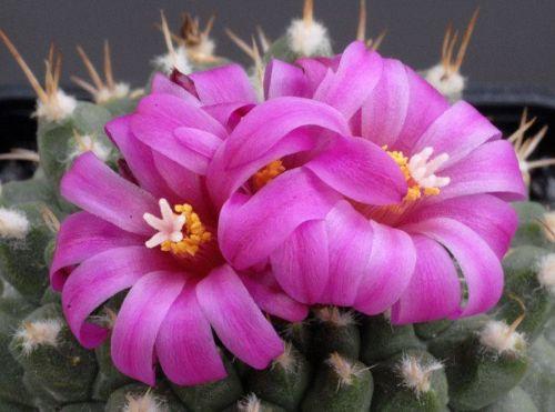 cactus-flowers-029