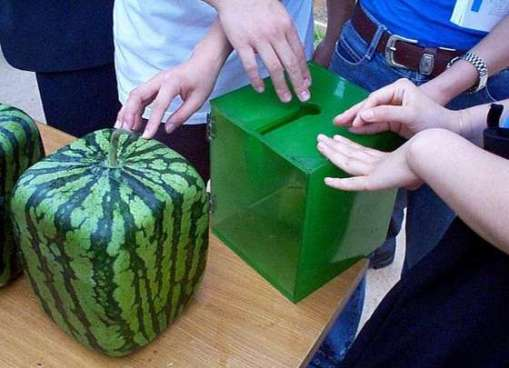 melon-4