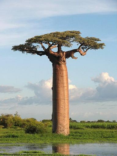 Adansonia grandidiere : Baobab Grandidier (di Madagasca r)