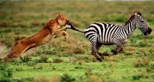 Cara Zebra Melawan Singa
