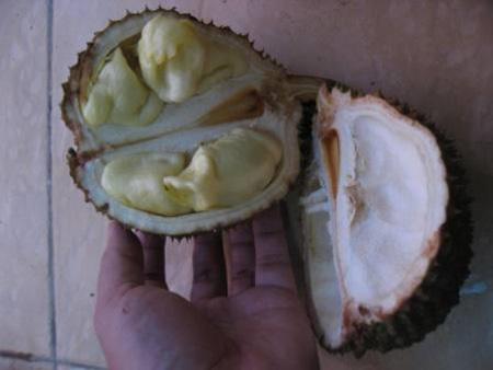 Durian Kura Kura Durian Unik Berbuah Pada Pangkal Pohon
