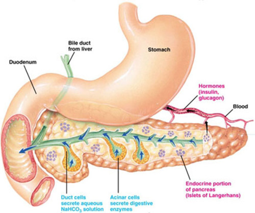 what function does the liver perform