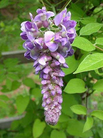 Linux forever indahnya aneka bunga wisteria di jepang for The wisteria