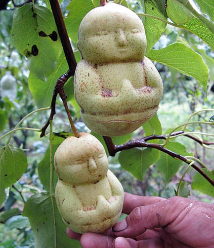 Unik, Buah Pir Berbentuk Budha Kecil
