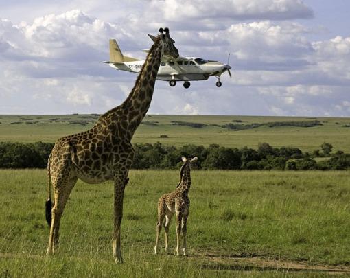 Girafe-vs-plane