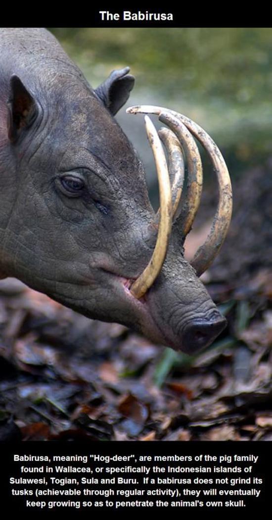 87 Gambar Raja Babi Hutan Terbaik